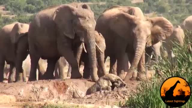 Mother Elephant Rescues Her Calf - Latest Wildlife Sightings