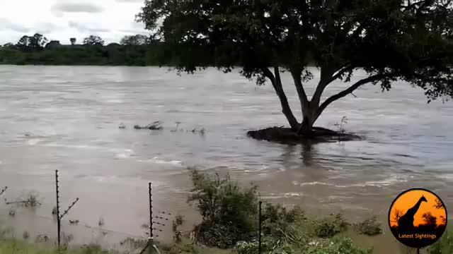 Kruger National Park Floods 2014 - Baboons Swim to Safer Ground & Phalaborwa