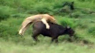 Incredible Attempt By Lions To Hunt A Buffalo - Latest Wildlife Sightings