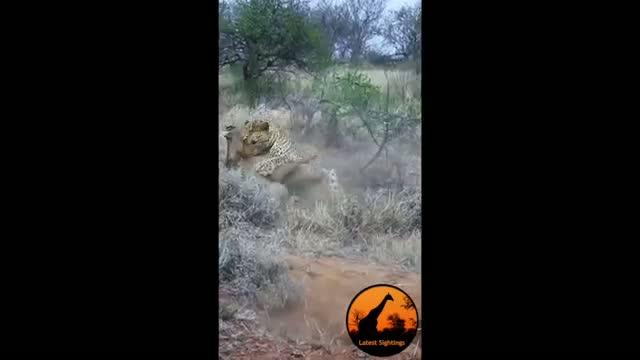 Leopard Kills Warthog in Burrow - Latest Wildlife Sightings