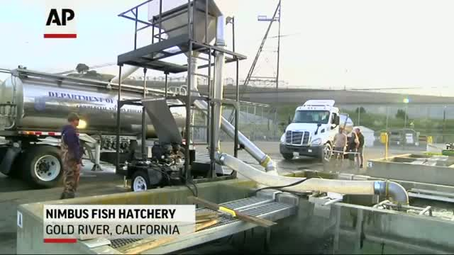 Salmon Migrate by Truck During Calif. Drought