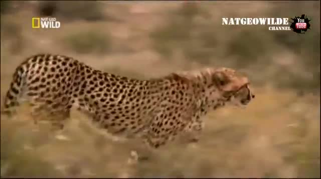Cheetah attacked reporter. Cheetah attack the people! / Animal Attacks on Human - Wild Video