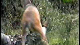 When Animals Strike - Deer Attack