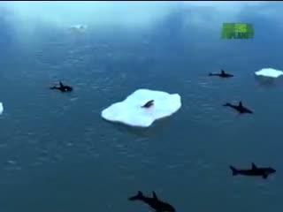 Orcas Attack Seal