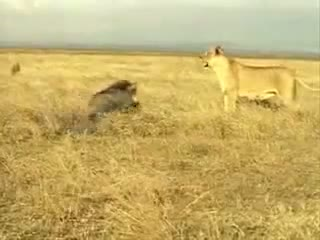 Wild Pig vs Lion, Pig Attacks Lion, Wild Animal Attacks