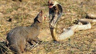 Animal Attack Golden King Cobra Vs Mongoose