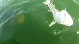 Grouper eats Shark Video Giant Grouper Swallows Shark Whole - Giant Fish swallows Shark