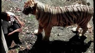 Delhi : White Tiger Attacks 22yr old Student in Zoo and Mauled him to death - #KillATiger