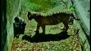 White Tiger Attack in Delhi Zoo - #KillATiger