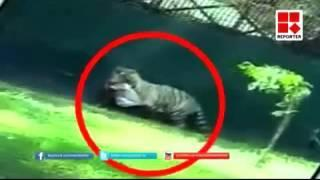 Camera footage White tiger kills class 12 student inside Delhi zoo - #KillATiger