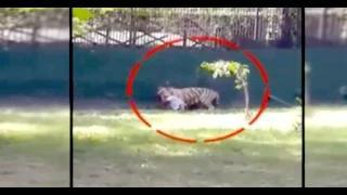 White Tiger Kills Student At Delhi Zoo (EXCLUSIVE VIDEO)- Boy Mauled To Death By Tiger - #KillATiger