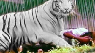 White tiger attack : 12th Student was Killed by Tiger in Delhi Zoo, India - #KillATiger