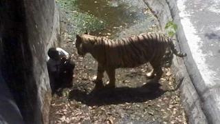 White Tiger Kills Man Who Fell Into Its Enclosure At Delhi Zoo - #KillATiger