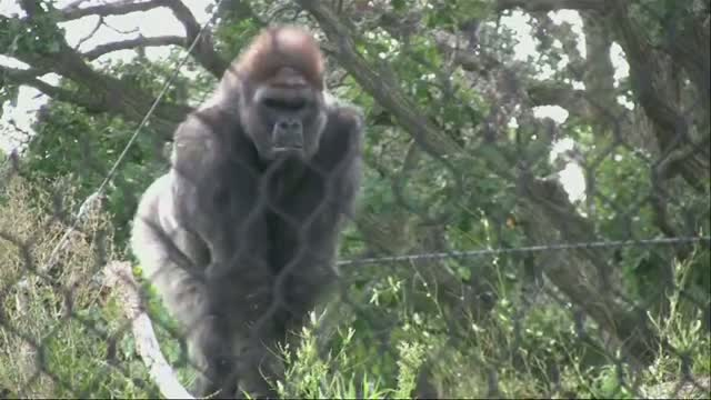 Harpist Soothes Gorillas, Orangutans With Music