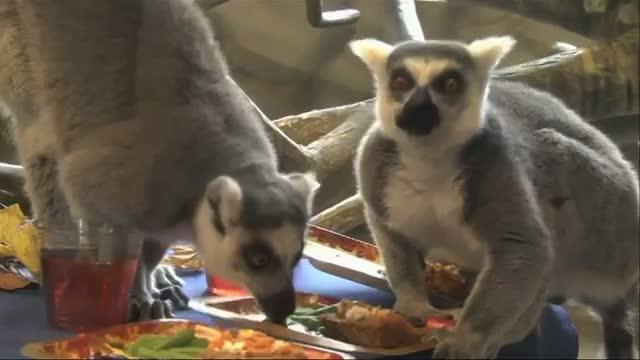 Lemurs Enjoy Thanksgiving Dinner at Zoo
