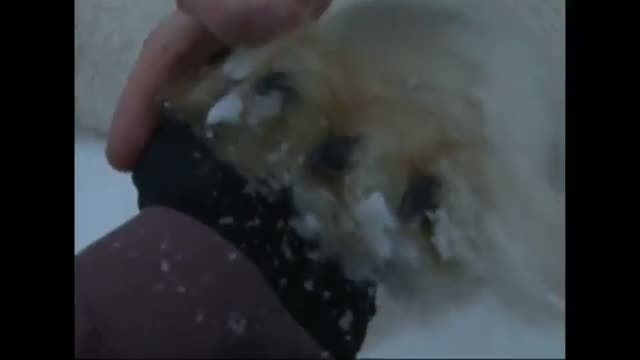 Hungry Polar Bear Transferred to New Home
