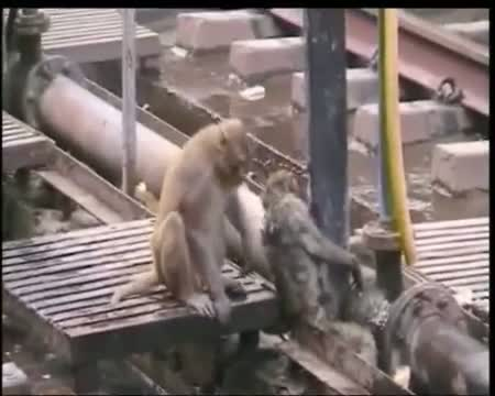 Monkey save friend life. Interesting video monkey look such as God Hanuman ji Video