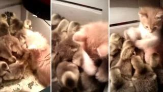What Happens When A Kitten Is Accosted By Excited Ducklings!