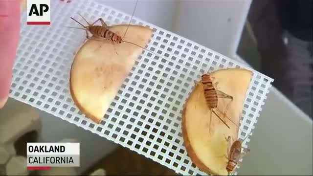 'Entopreneurs' Feed Appetite for Edible Insects
