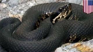 Deadly snake bite: Cottonmouth snake bite kills Missouri man who refused treatment