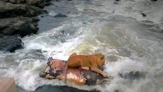 Caught On Camera: Lion Uses Hippo Carcass As Life Raft