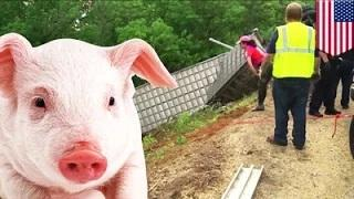 2,200 piglets escape after semitrailer crashes on US Route 35 in Ohio