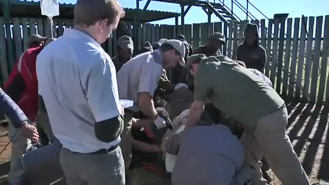 Vets Operate on Rhino Attacked by Poachers