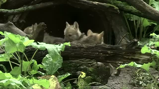 Endangered Wolf Pups Debut at Illinois Zoo