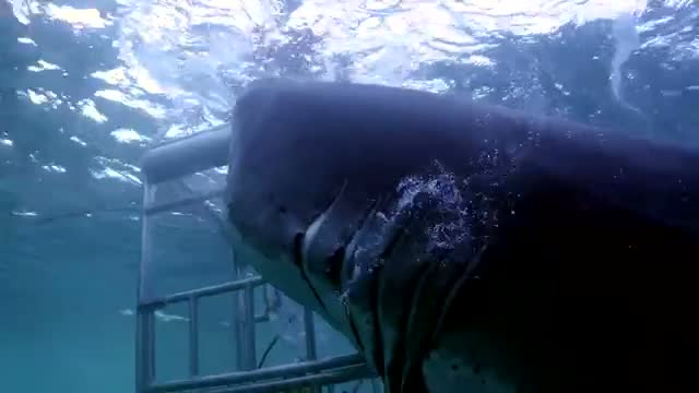 18 Foot Great White Goes Mental on Diving Cage