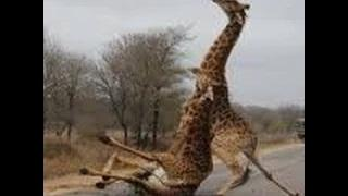 Animals hunting prey deadly animal attacks compilation animals attacking