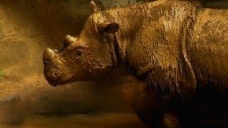 Rare Sumatran Rhino Leaving Cincinnati Zoo