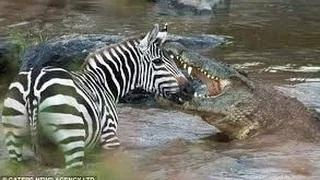 Animals hunting prey crocodile attacks zebra MUST SEE WHEN ANIMALS ATTACK !
