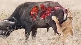 Wild animal hunting in africa the most wild animals attack video ever seen