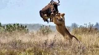 Lion Attack Compilation - HD Video