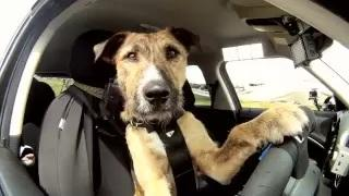 The World's First Driving Dog