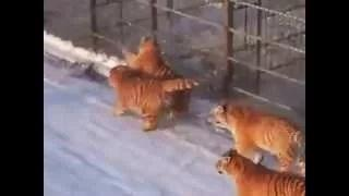 TIGERS FEED LIVE CHICKENS wild animals attack caught on camera
