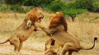 Lions vs lions fight , When Animal Attack , Lion Attack Documentary