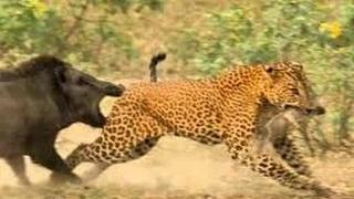 Leopard vs Warthog who win animal hunting and killing When Animal Attacks
