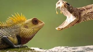 Cobra Vs Chameleon - One Will Die Full HD