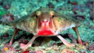Red Lipped Batfish - Bizarre Animal