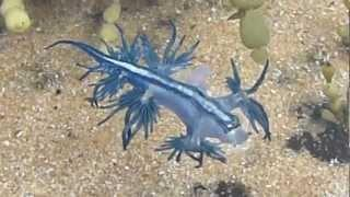 Glaucus Atlanticus (Blue Dragon) - Bizarre Animal