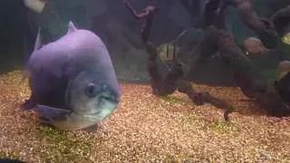 The Pacu Fish - Bizarre Animal