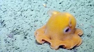 Dumbo Octopus - Bizarre Animal