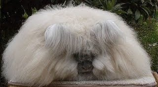 Angora Rabbits - Bizarre Animals