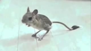 Kangaroo Rat - Bizarre Animals