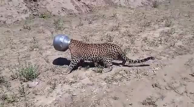 Leopard finds itself in a tight spot in India