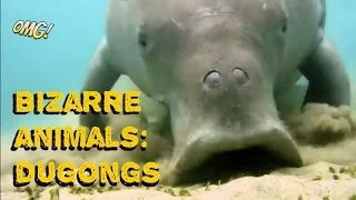 Bizarre Animals: Strange Animals Caught On Tape: What Is A Dugong?