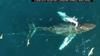 Humpback Whale Entangled in Fishing Line