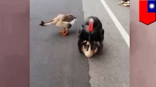 Turkey $ex with goose, so wrong! Escaped turkey attempts to breed with wild goose