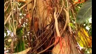 Banyan (Bargad) Tree - Remedies To Treat Infertility,$exual Weakness,Dental Problem,Skin Care
